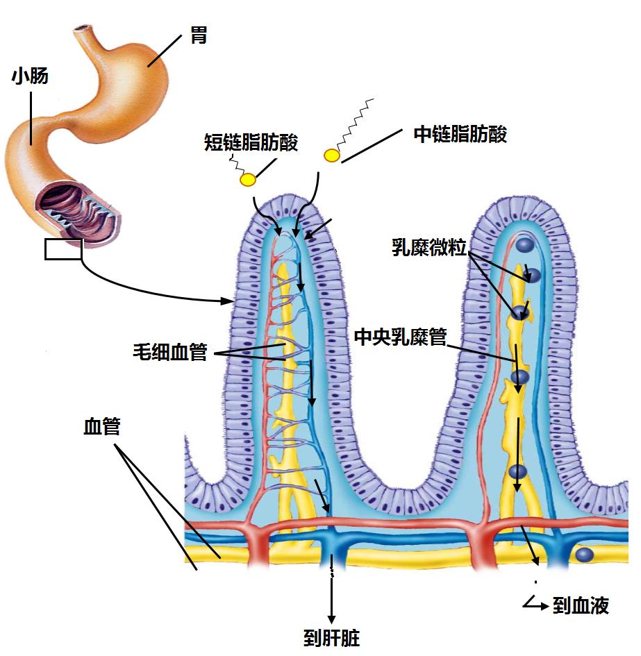 中短链脂肪酸的捷径